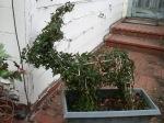 Reindeer Topiary
