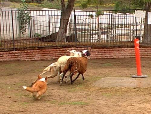 Herding 9