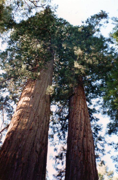 calaveras-big-trees-sp