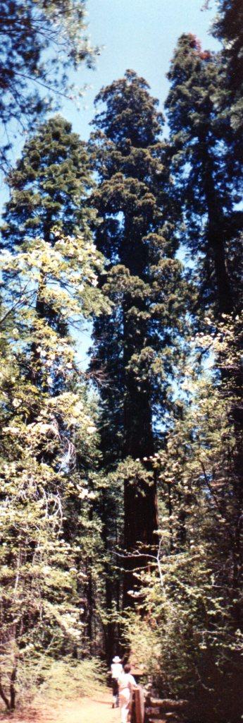sequioa-tree